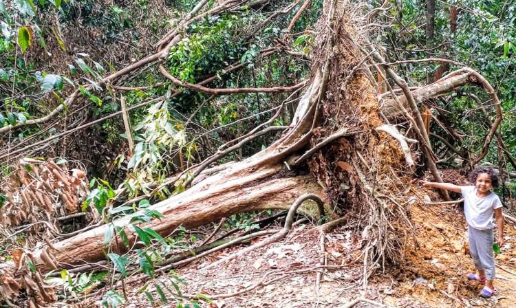 14082016-Bukit Lawang tronc d arbre