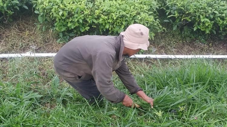 Ciater_plantation farmer au travail
