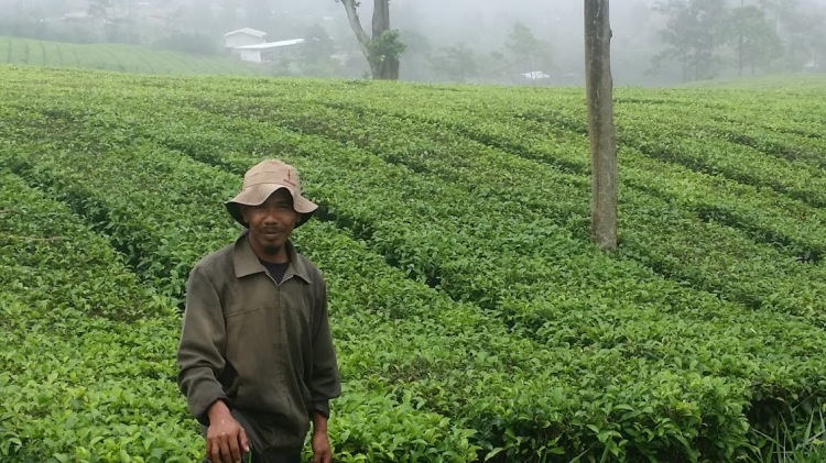 Ciater_plantation farmer