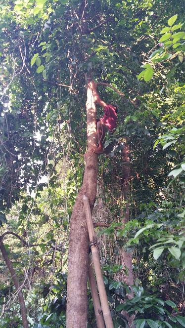 Ubud_keliki Riong grimpeur