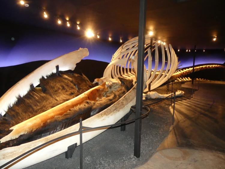 squelette-baleine